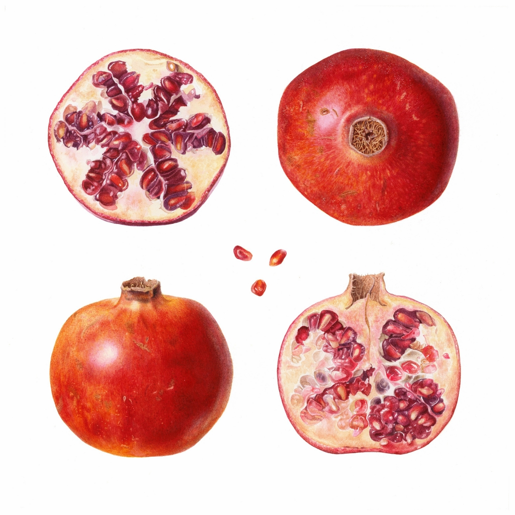 Botanical illustration of a quartered pomegranate in watercolour